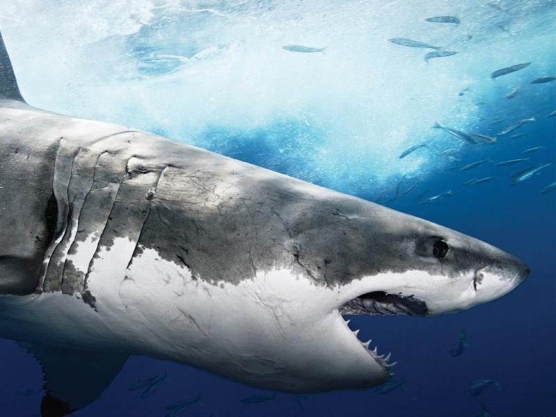 фото акула скачать