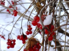 Рябина зимой - Феня Хамидбиевна Канкулова.