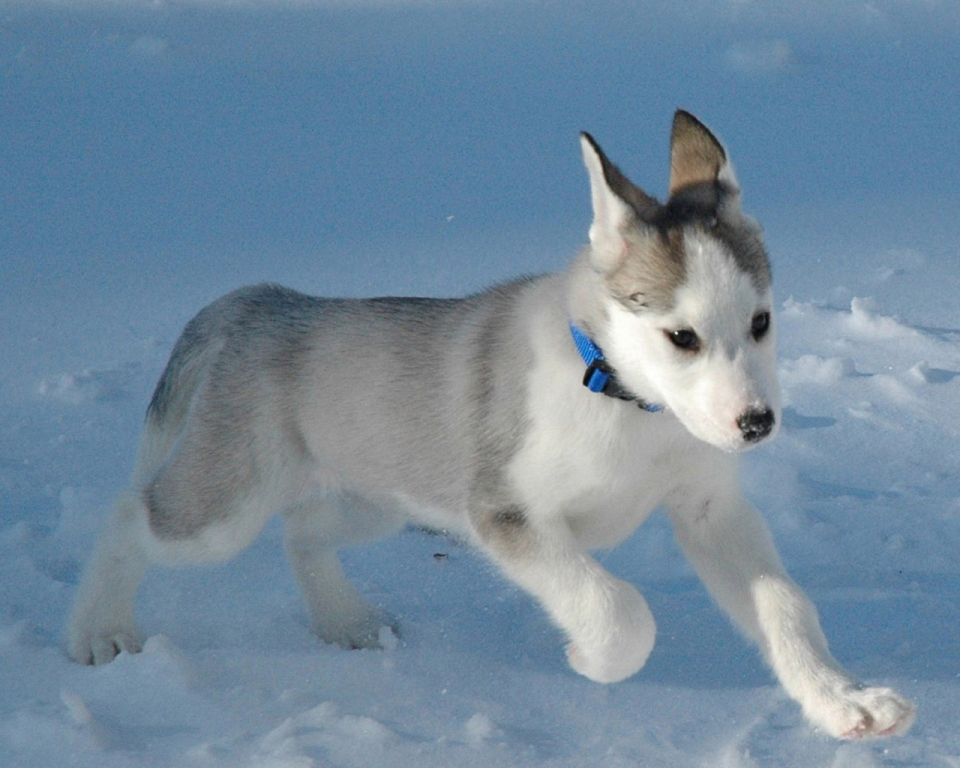 Канадская эскимосская собака фото 1