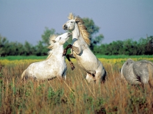 Wild Horses of Camargue, Southern France
