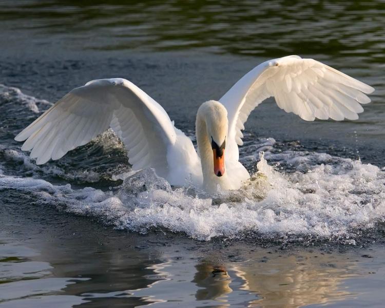 Скачать бесплатно картинку 320х240 (8915: Лебеди, Птицы, Вода, Животные) на телефон.