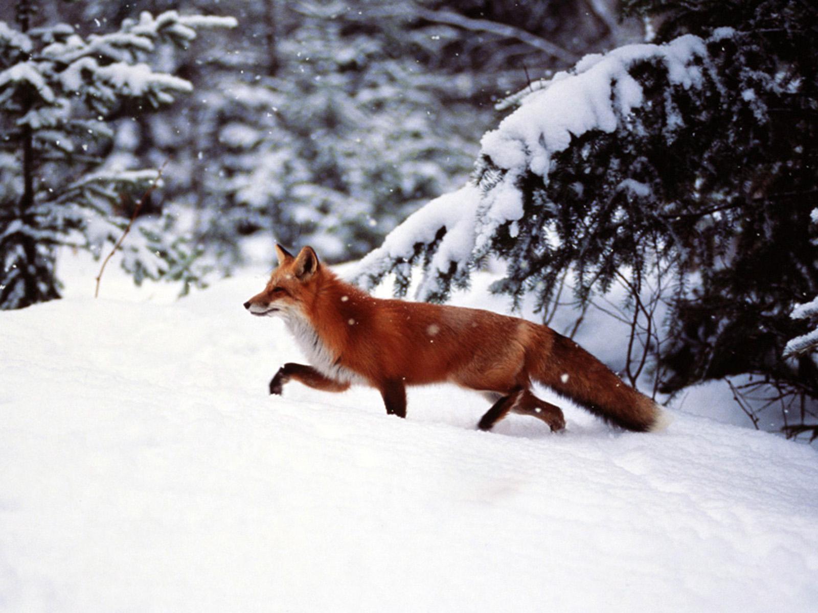 Фотки лис и волк 1 фотография