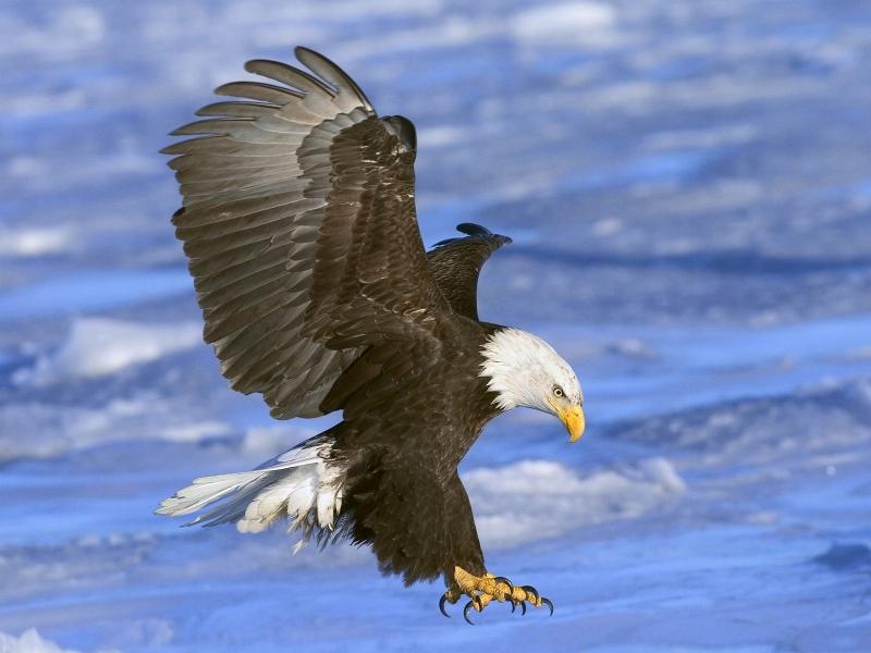 Приземляющийся орел
